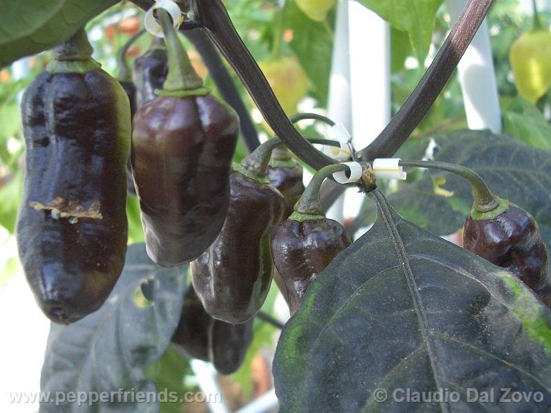 pimenta-kathumby_001_frutto_08.jpg