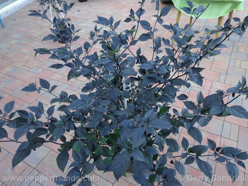 pimenta-da-neyde_004_pianta_03.jpg