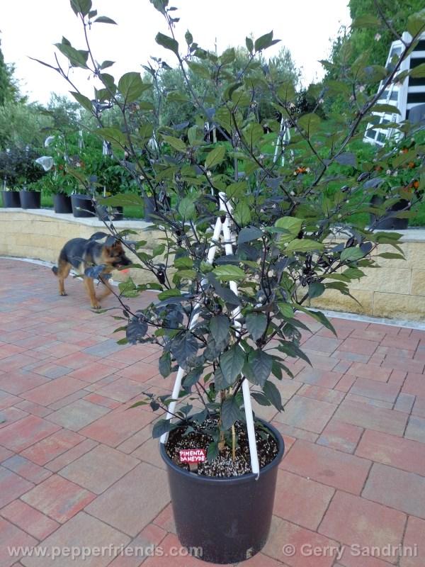 pimenta-da-neyde_004_pianta_05.jpg