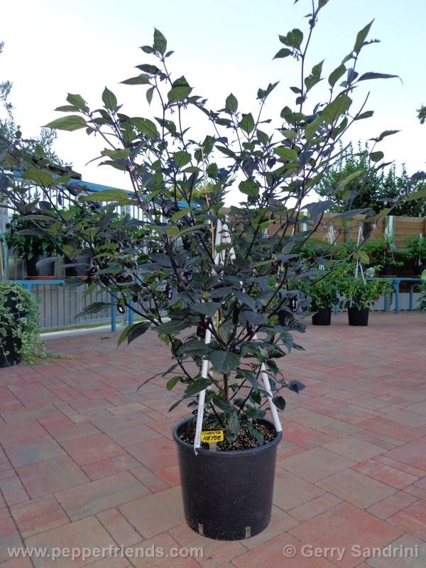 pimenta-da-neyde_004_pianta_06.jpg