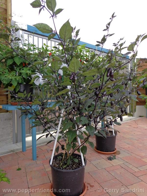 pimenta-da-neyde_004_pianta_07.jpg