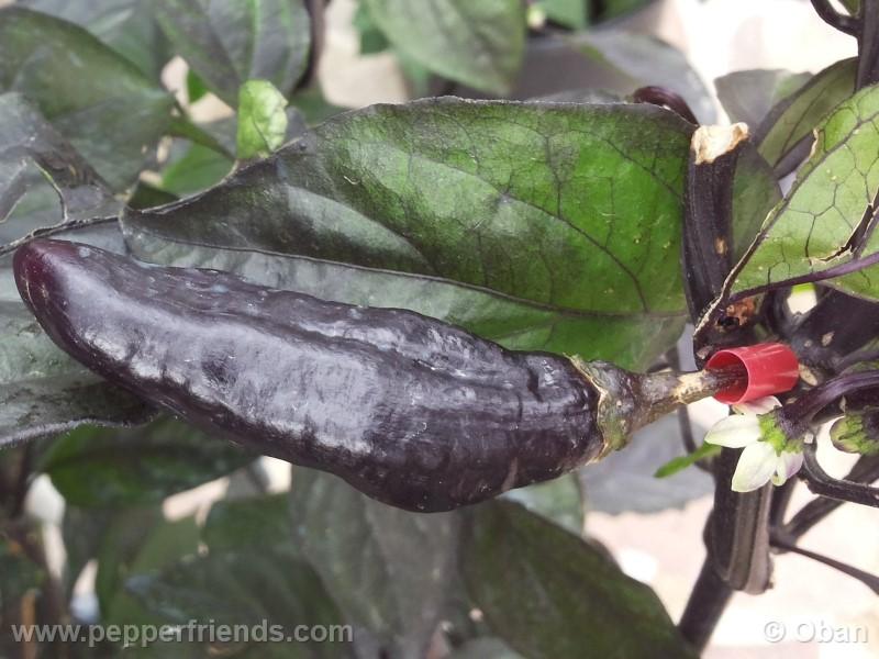 pimenta-da-neyde_005_frutto_27.jpg