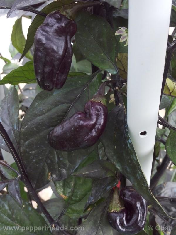 pimenta-da-neyde_005_frutto_29.jpg