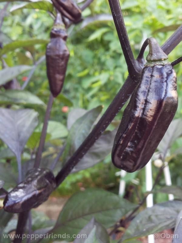 pimenta-da-neyde_005_frutto_33.jpg