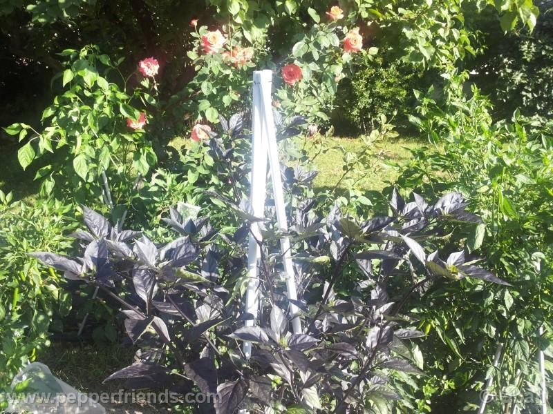 pimenta-da-neyde_005_pianta_09.jpg
