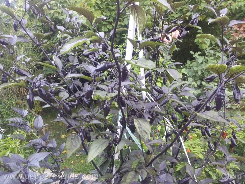 pimenta-da-neyde_005_pianta_12.jpg