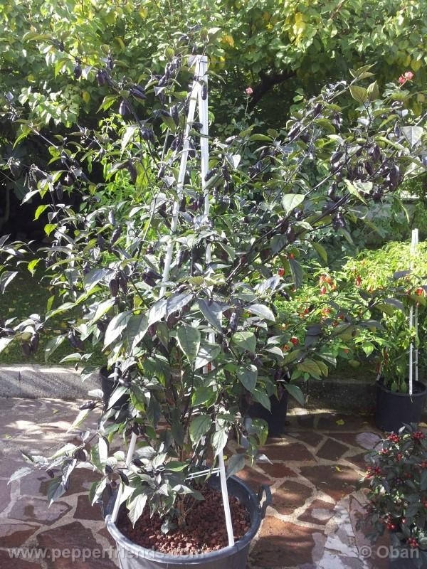 pimenta-da-neyde_005_pianta_13.jpg