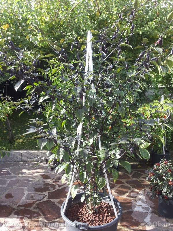 pimenta-da-neyde_005_pianta_14.jpg