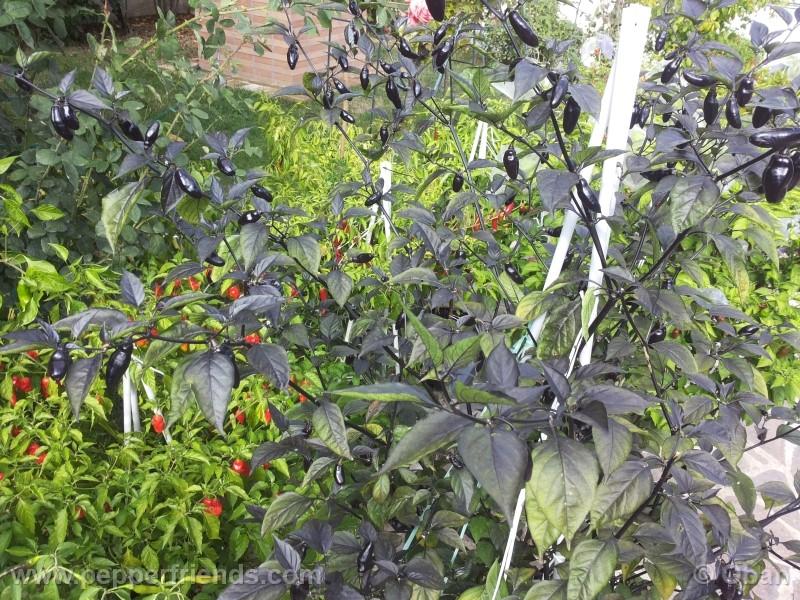 pimenta-da-neyde_005_pianta_16.jpg