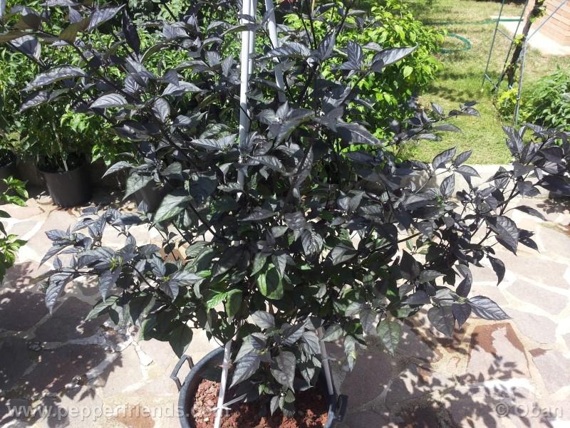 pimenta-da-neyde_005_pianta_18.jpg