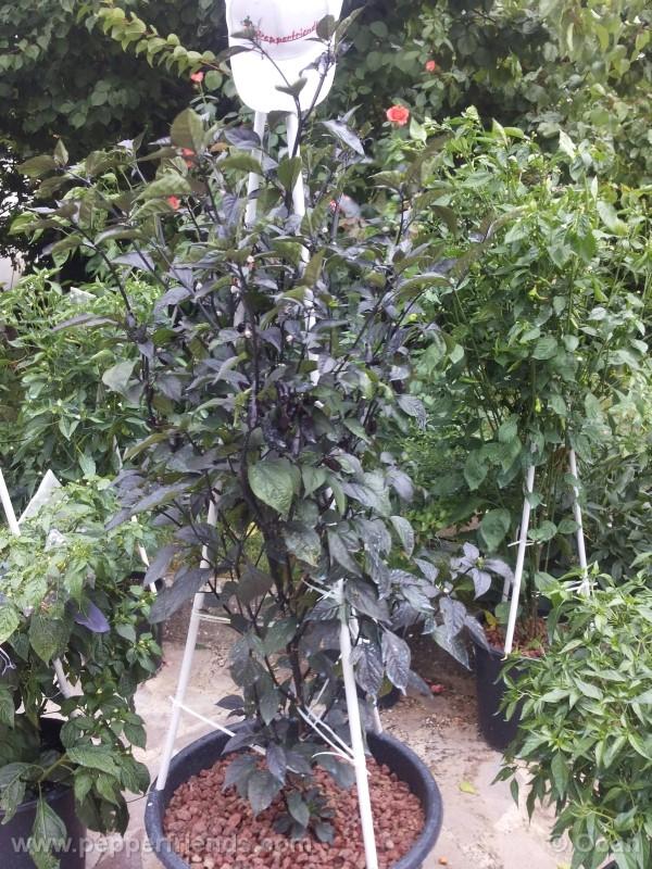 pimenta-da-neyde_005_pianta_97.jpg