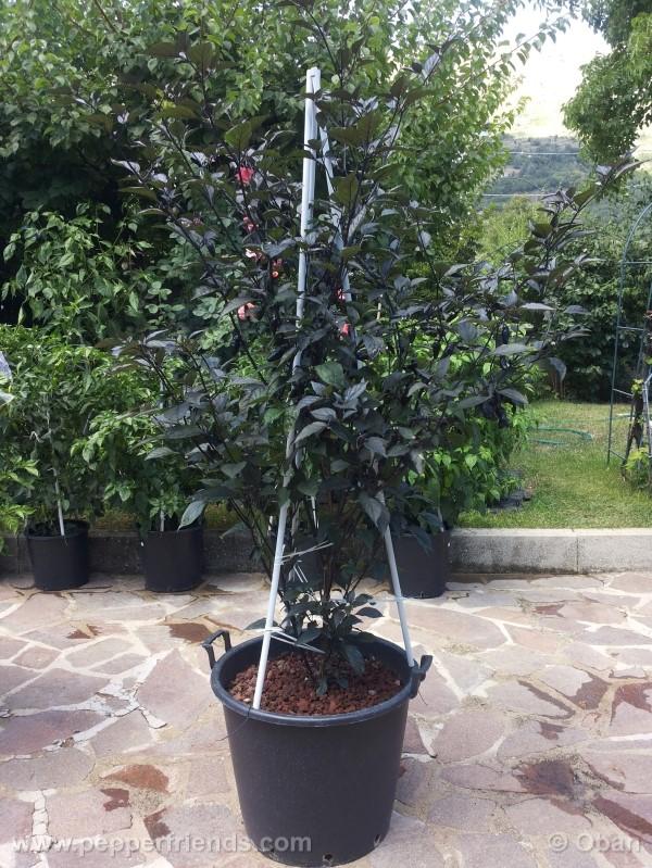 pimenta-da-neyde_005_pianta_98.jpg