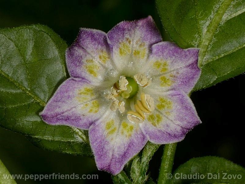 purple-flowered_001_fiore_02.jpg