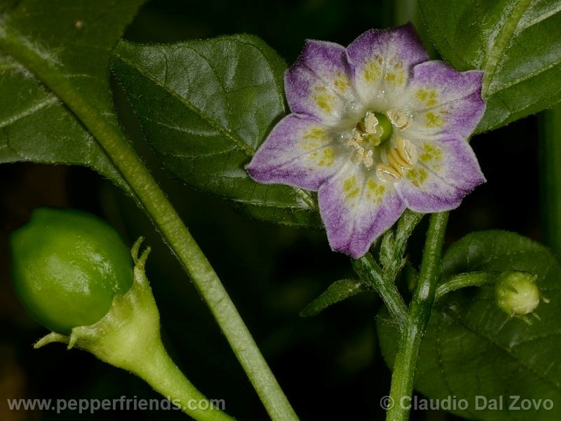 purple-flowered_001_fiore_04.jpg