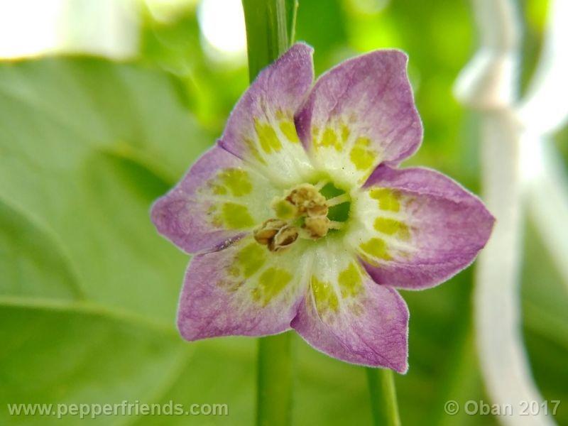 purple-flowered_002_fiore_07.jpg