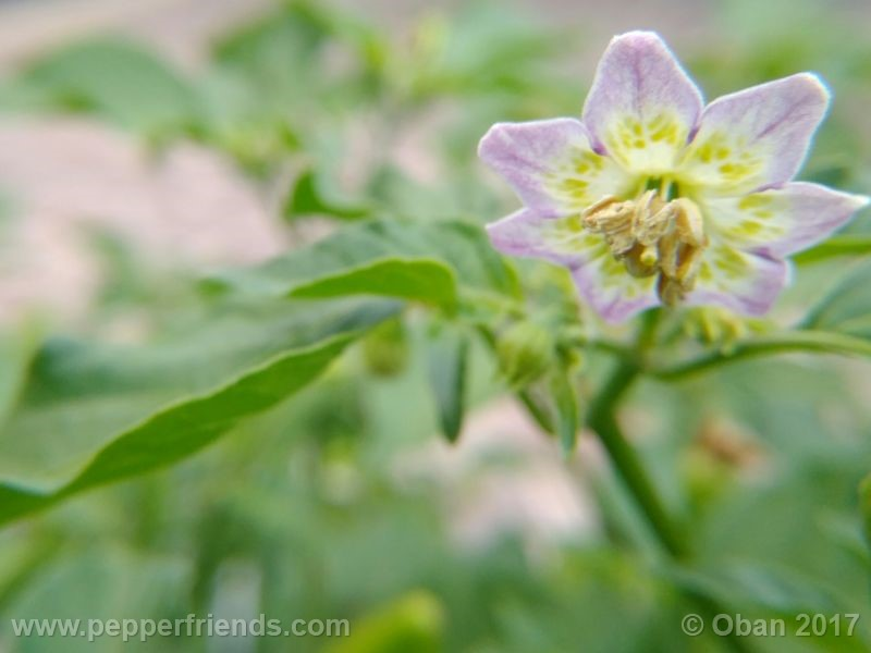 purple-flowered_002_fiore_15.jpg