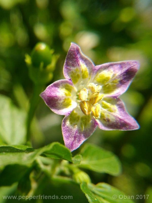 purple-flowered_002_fiore_17.jpg
