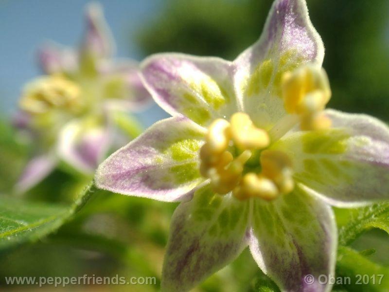 purple-flowered_002_fiore_21.jpg