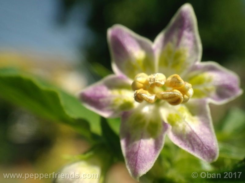 purple-flowered_002_fiore_22.jpg