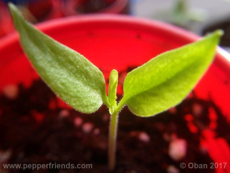 purple-flowered_002_pianta_03.jpg