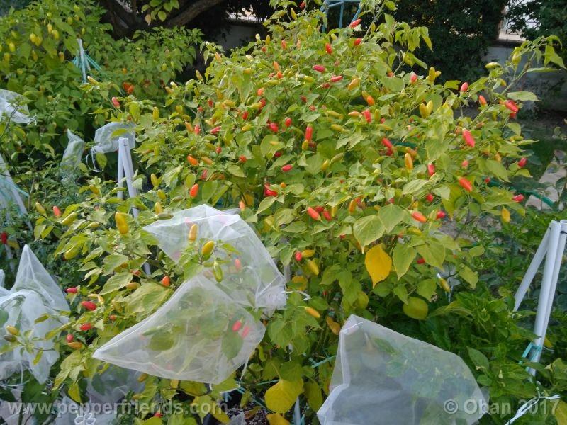 purple-flowered_002_pianta_31.jpg
