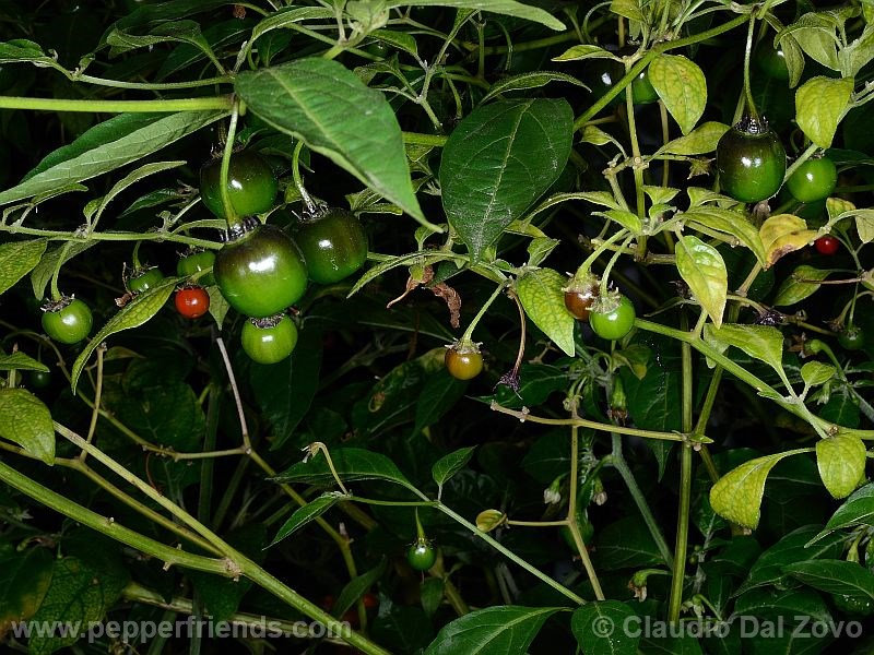 rocopica_000_frutto_01.jpg