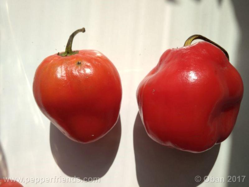 rocoto-oval_001_frutto_10.jpg