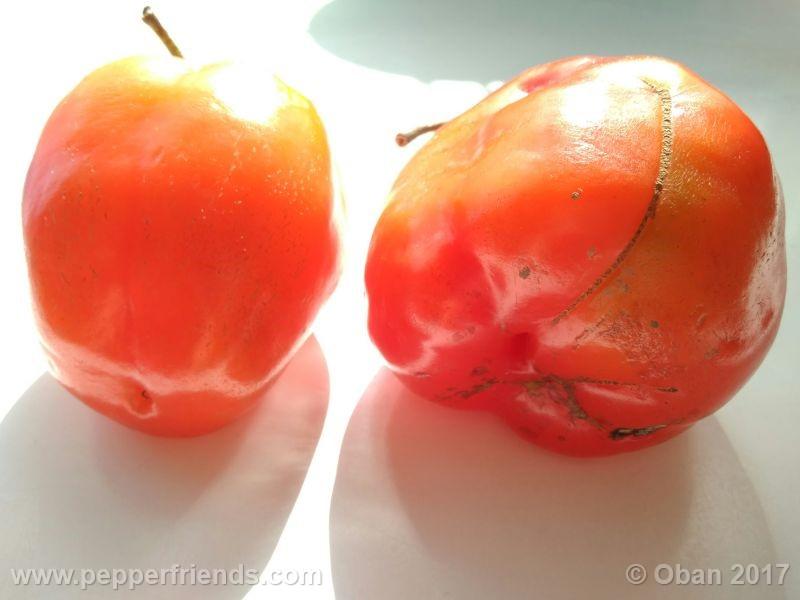 rocoto-oval_001_frutto_11.jpg