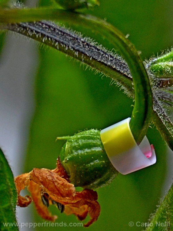 rocoto-bigapple_001_frutto_01.jpg