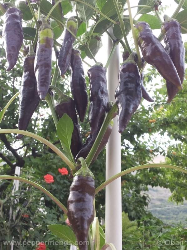 tanzanian-black_001_pianta_09.jpg