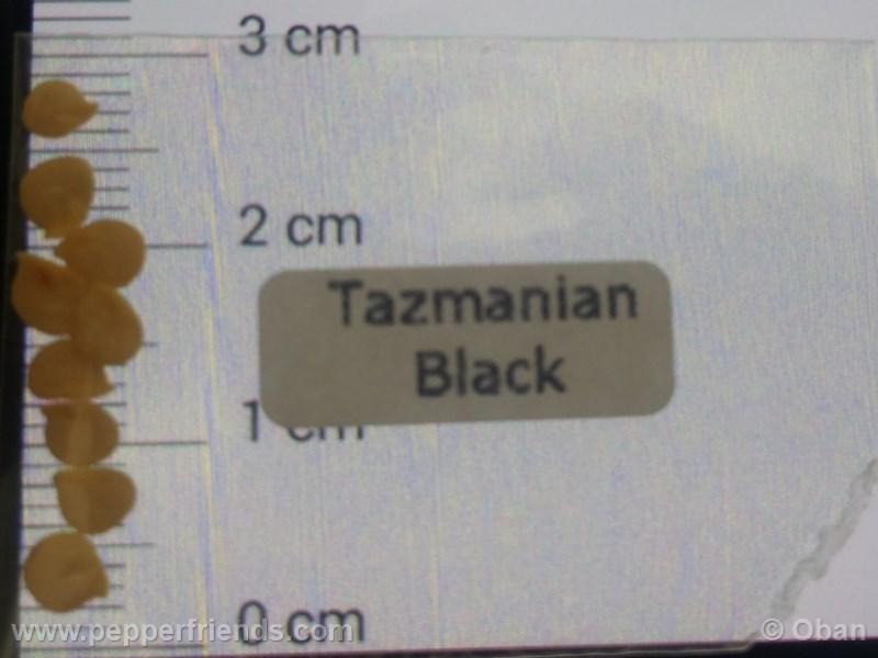 tazmanian-black_001_asemi_01.jpg