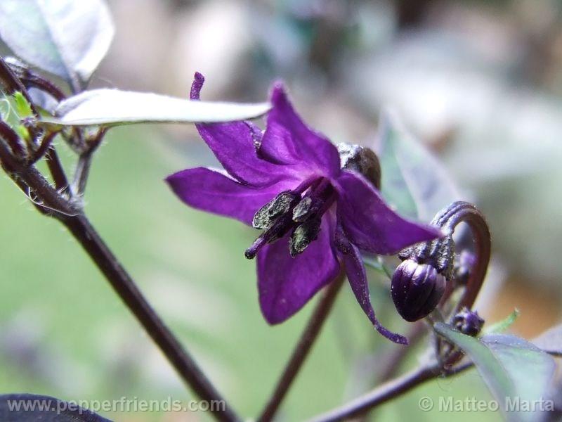violetta_001_fiore_04.jpg