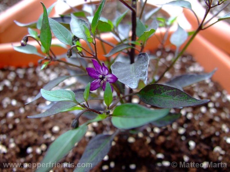 violetta_001_pianta_01.jpg