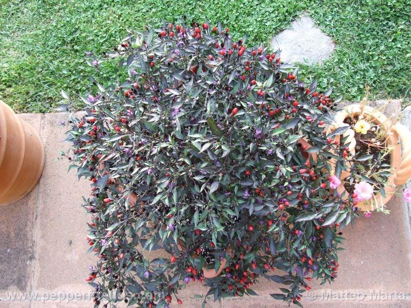violetta_001_pianta_05.jpg