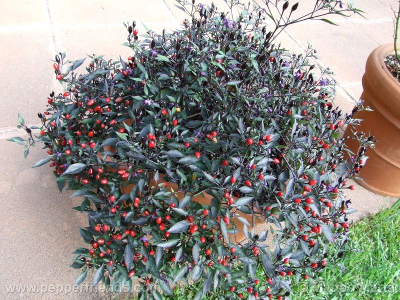 violetta_001_pianta_06.jpg