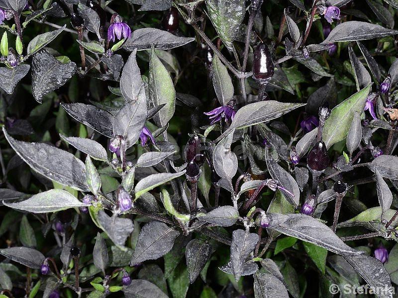 violetta_003_pianta_01.jpg