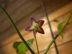 eximium flower