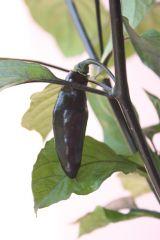 20140728 Pimenta De Neyde frutto