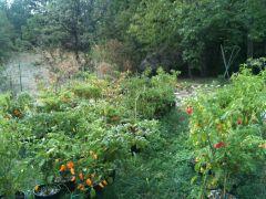 Fase 11 - Secondo raccolto - Settembre 2012 1