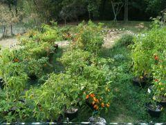 Fase 11 - Secondo raccolto - Settembre 2012 14