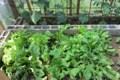 Insalata e cetrioli
