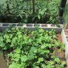 Rapanelli e pomdori