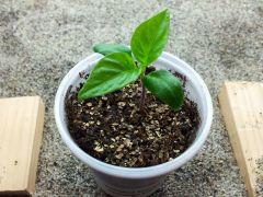 Trinidad Scorpio Morouga Blend