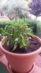 Medusa Pepper 2