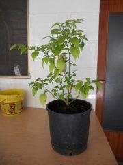 pianta madre