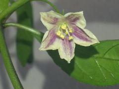 Fiore Di C.lanceolatum