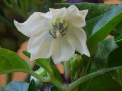 8 fiore Di pyramid