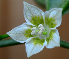 Fiori di peperoncini - chiles flowers