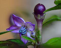 4 gocce Di nettare In fiore Di pretty purple