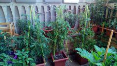 supporto piante - pomodori